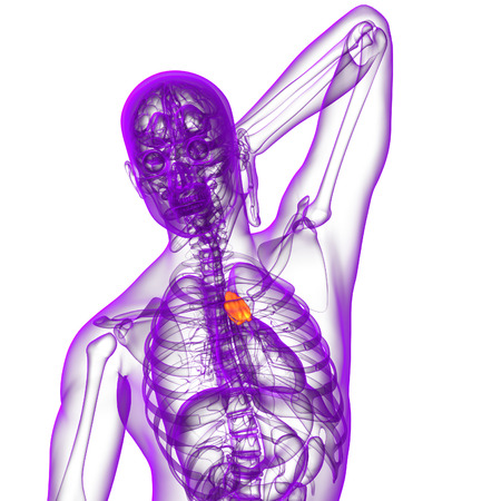 thymus: 3d render medical illustration of the thymus - front view