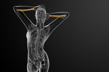 raggio: 3D rendering illustrazione medica del radio - Vista di dietro Archivio Fotografico