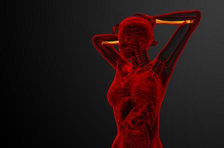 raggio: 3d render medical illustration of the radius bone - side view
