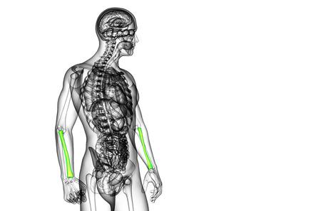 raggio: 3D rendering illustrazione medica del radio - vista laterale Archivio Fotografico