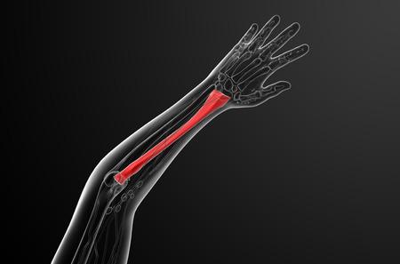 raggio: 3D rendering illustrazione medica del radio - vista dall'alto