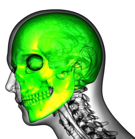 maxilla: 3d render medical illustration of the human skull - side view Stock Photo