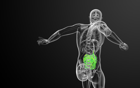 small intestine: 3d rendered illustration of the small intestine - back view Stock Photo
