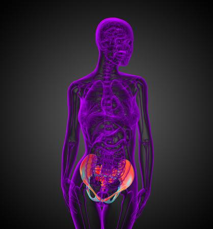 3d render medical illustration of the hip - front view illustration