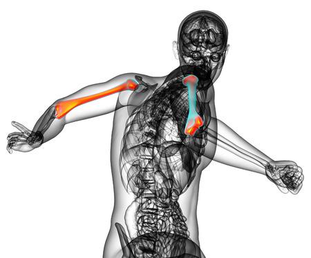 3d bone: 3d render medical illustration of the humerus bone - back view Stock Photo