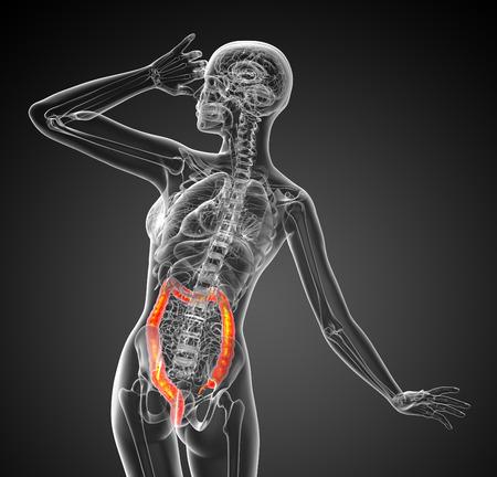 large intestine: 3d ilustraci�n m�dica del intestino grueso - vista posterior Foto de archivo