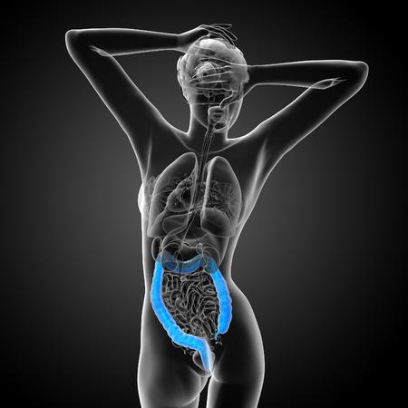 large intestine: Human digestive system large intestine - back view