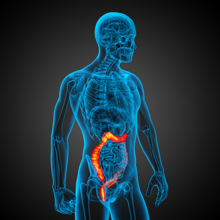 intestine: Sistema digestivo humano intestino grueso - vista posterior