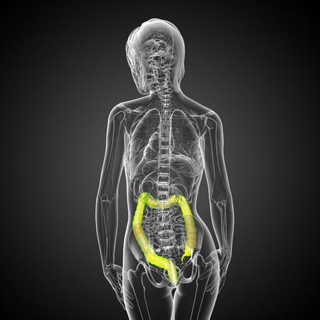 intestino grueso: Sistema digestivo humano intestino grueso - vista posterior