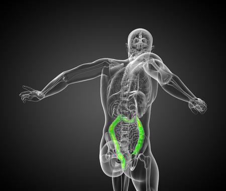 large intestine: Sistema digestivo humano intestino grueso - vista posterior