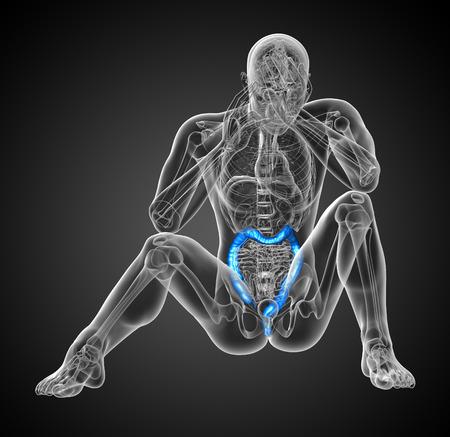 large intestine: Sistema digestivo humano intestino grueso - vista frontal Foto de archivo