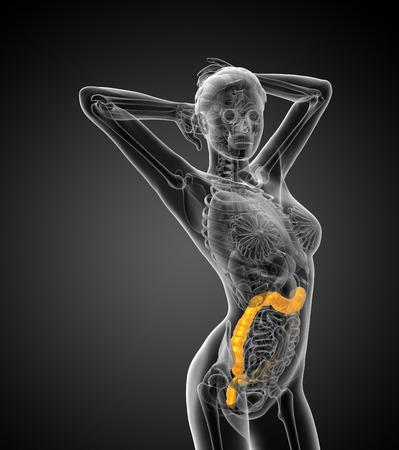intestino grueso: Sistema digestivo humano intestino grueso - vista lateral Foto de archivo