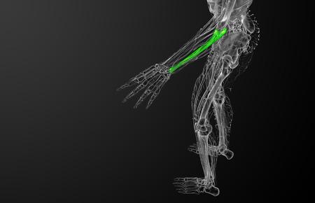 radius ulna: 3d render medical illustration of the ulna bone - side view
