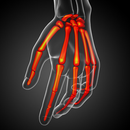phalanx: 3d render illustration of the skeleton hand - front view
