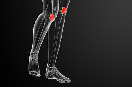 patella: 3d render medical illustration of the patella bone - front view