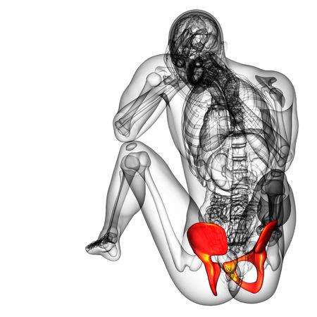 3d render medical illustration of the pelvis bone - back view illustration
