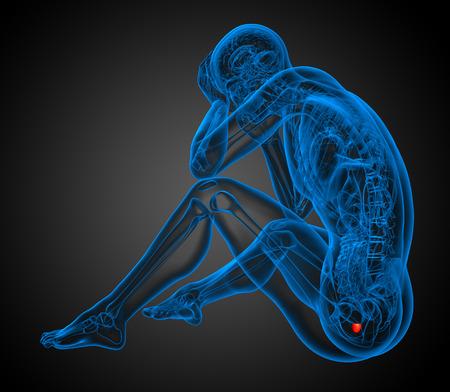 scrotum: 3d ilustraci�n de la pr�stata humano - vista lateral Foto de archivo