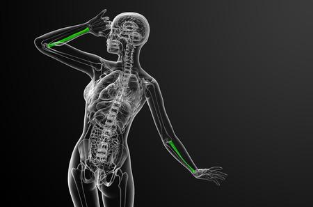 radius: 3d render medical illustration of the radius bone - back view