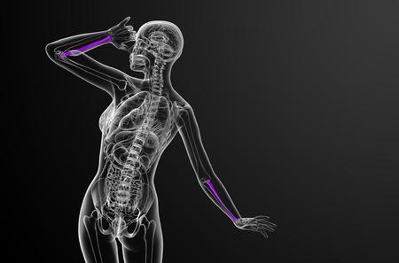 raggio: 3d render medical illustration of the radius bone - back view