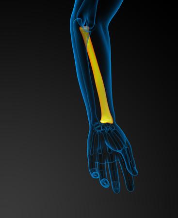radius ulna: 3d render medical illustration of the radius bone - back view