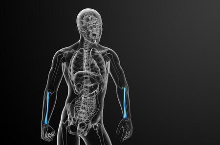 raggio: 3D rendering illustrazione medica del radio - vista frontale