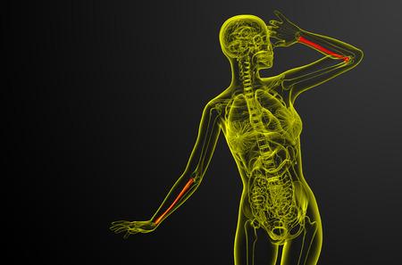 radius ulna: 3d render medical illustration of the radius bone - front view