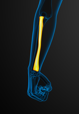 radius: 3d render medical illustration of the radius bone - front view