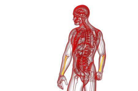 radius ulna: 3d render medical illustration of the radius bone - side view
