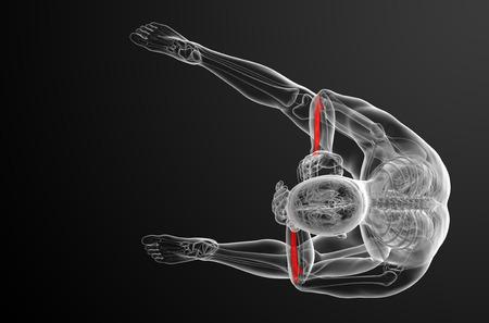 raggio: 3d render medical illustration of the radius bone - top view Archivio Fotografico