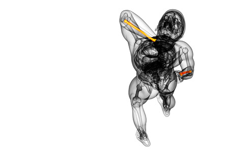 radius ulna: 3d render medical illustration of the radius bone - top view Stock Photo