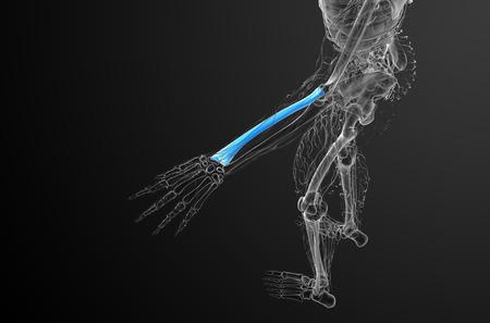 radius: 3d render medical illustration of the radius bone - top view Stock Photo