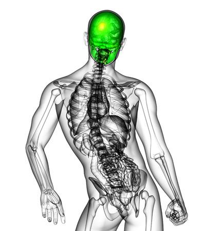 maxilla: 3d render medical illustration of the human skull - back