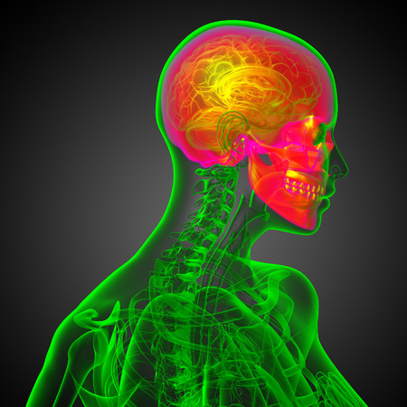 maxilla: 3d render medical illustration of the skull - side view