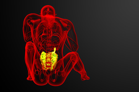 human small intestine: 3d rendered illustration of the small intestine - back view Stock Photo