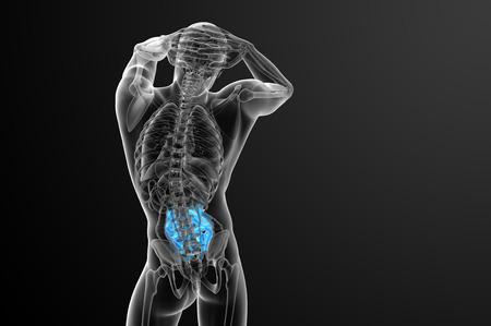 intestino: 3d rindi� la ilustraci�n del intestino delgado - vista posterior