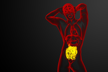 small intestine: 3d rendered illustration of the small intestine - front view