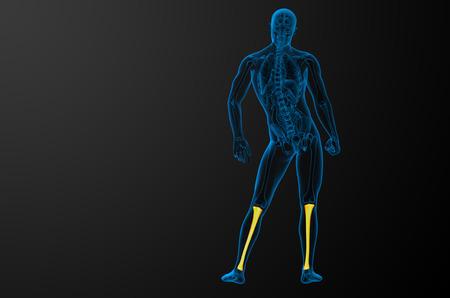 tibia: 3d render medical illustration of the tibia bone - back view