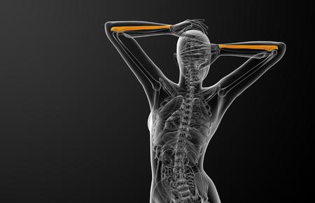 radius ulna: 3d render medical illustration of the ulna bone - back view