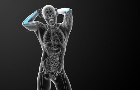 radius ulna: 3d render medical illustration of the ulna bone - front view
