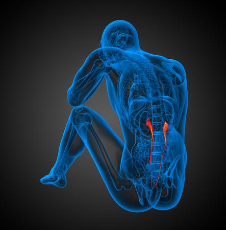 ureter: 3d render illustration of the ureter - back view