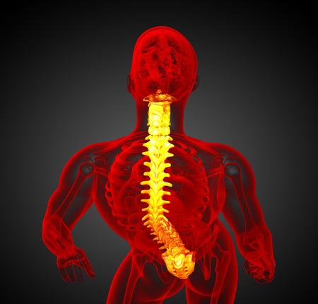 vertebra: 3d render medical illustration of the human spine - top view Stock Photo