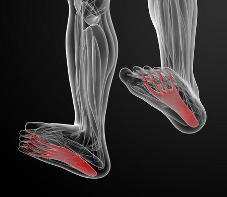 flexor: medical  illustration of the flexor digitorum brevis Stock Photo