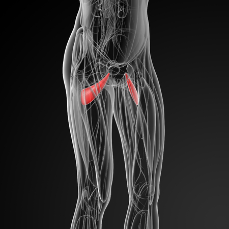 abductor: medical  illustration of the abductor brevis - side Stock Photo