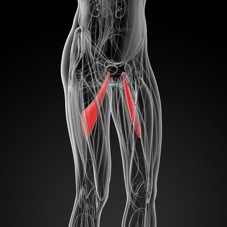 abductor: medical  illustration of the abductor longus - side view