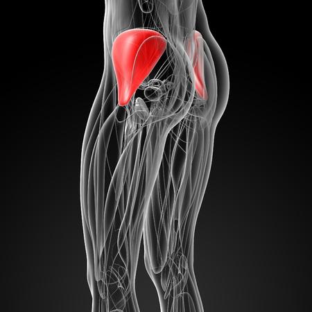 pelvic: medical  illustration of the gluteus medius