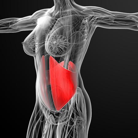 musculus: medical  illustration of the Obliquus Internus Stock Photo
