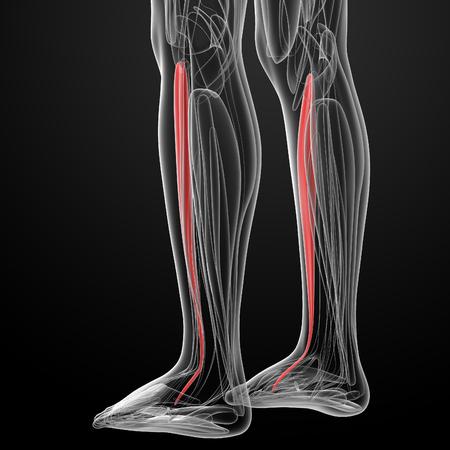 anterior: medical  illustration of the tibialis anterior