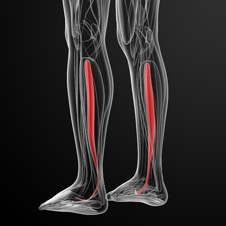 posterior: medical  illustration of the tibialis posterior