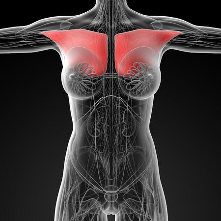 pectoralis: medical  illustration of the pectoralis major