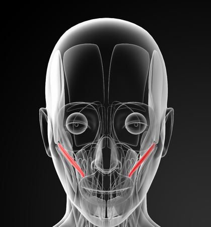 facial muscles: medical  illustration of the zygomaticus minor